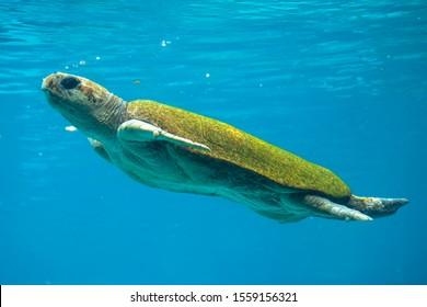 Hybrid green and loggerhead sea turtle swimming