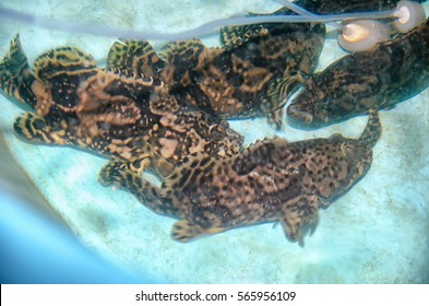 Hybrid Grouper, hybridization of tiger grouper and giant grouper. Photo of various sizes of grouper in a nursery tank located in Tanjong Demong, Besut, Terengganu, Malaysia.