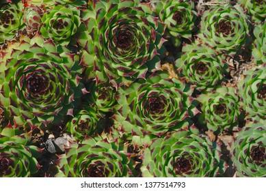 Hybrid Houseleek Flowers, Sempervivum