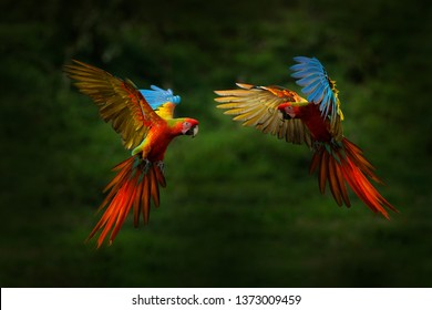 Hybrid parrots in forest. Macaw parrot flying in dark green vegetation. Rare form Ara macao x Ara ambigua, in tropical forest, Costa Rica. Wildlife scene from tropical nature. Red bird in fly, jungle.