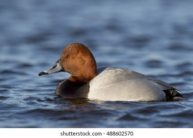 A hybrid of a Redhead and Canvasback duck swims on a cold river on a bright sunny winter afternoon.