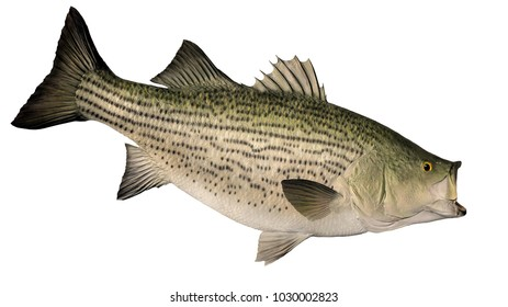 A Hybrid Striped Bass isolated on a white background.