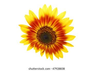 an hybrid sunflower isolated