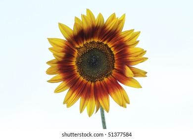 Hybrid Sunflower with orange ring