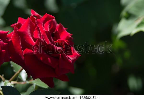 hybrid-tea-rose-black-baccara-600w-19258