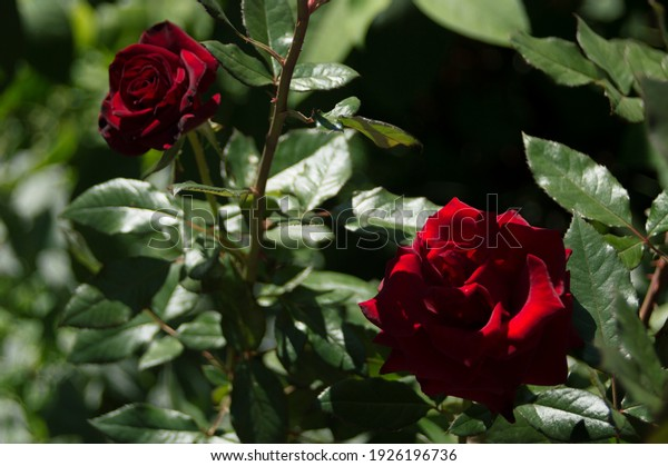 hybrid-tea-rose-black-baccara-600w-19261