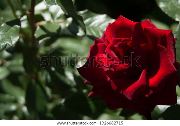 hybrid-tea-rose-black-baccara-600w-19266