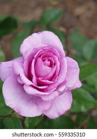 Hybrid tea rose is an informal horticultural classification for a group of garden roses. It is the oldest group classified as a modern garden rose.