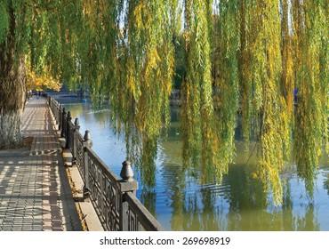 Hybrid weeping willows (Salix babylonica) in autumn. Quay of Salgir River in Simferopol, Crimea