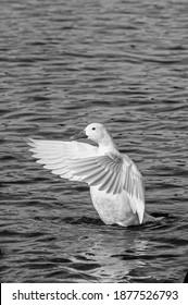 Hybrid white mallard duck flapping wings