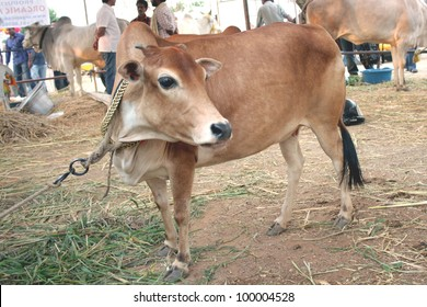 HYDERABAD,AP,INDIA-MACH 30:2.6ft.height dwarf worlds smallest cow in Exhibited in Desi Cow Mela of  indigenous 29 existing breeds  on March 30,2012 in Hyderabad,Ap,India.Cows are holyfor Hindus.