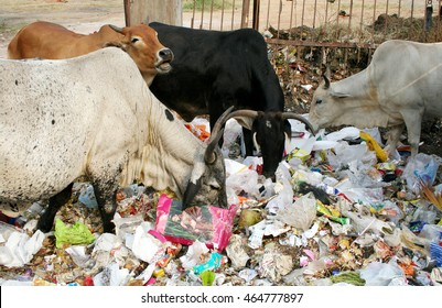 HYDERABAD,INDIA-OCTOBER 21:Cows eating in road side garbage dump on October 21,2011 in Hyderabad,India