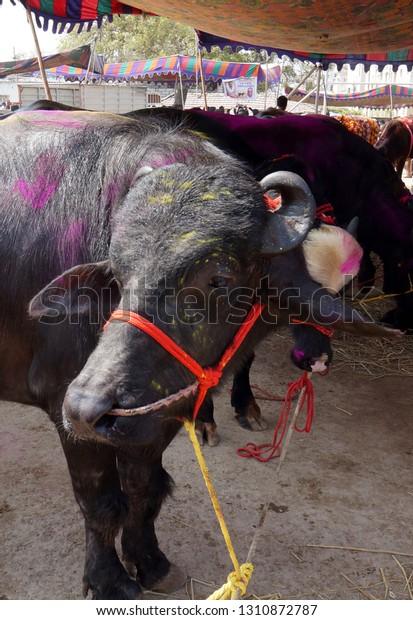 Hyderabadjanuary 27view Indian Decorated Buffalo Sale Stock