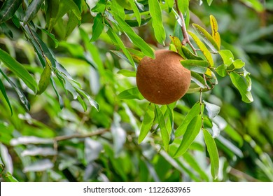 Hydnocarpus anthelminthicus (Chaulmoogra) ; The big fruit is spherical. The thick peel fruit is brown. covered by hairy brown velvet. Inside, there are a lot of black seeds packed together.