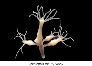 Hydra vulgaris dark field
