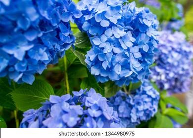 hydrangea ajisai flower