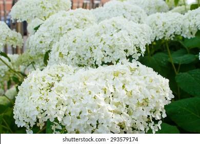Hydrangea arborescens Annabelle  white balls summer flowers