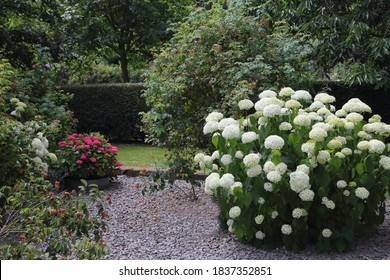 Hydrangea arborescens, commonly known as smooth hydrangea, wild hydrangea, sevenbark, or in some cases, sheep flower, is a species of flowering plant in the family Hydrangeaceae.