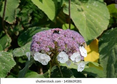 hydrangea aspera ssp.sargentiana plant in bloom