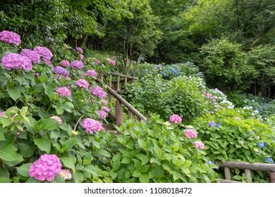 Hydrangea of Asukayama Park in Kita Ward, Tokyo, Japan / Asukayama park is a public park in Kita Ward, Tokyo, Japan