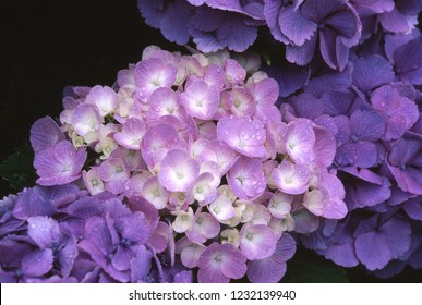 Hydrangea (Blooming in rainy season)