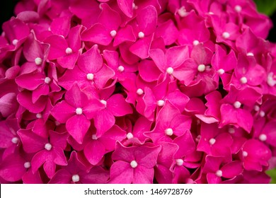 Hydrangea blossom on a sunny day. Flowering hydrangea plant. Blooming flowers in the summer garden. Pink hydrangea in full bloom.