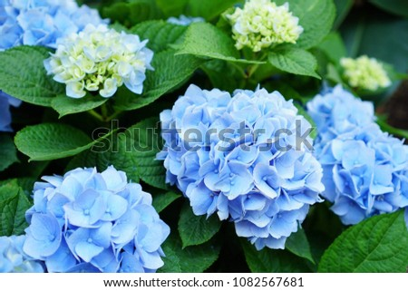 Hydrangea Blue Blue Blossoming Spring Flowers Stock Photo Edit Now