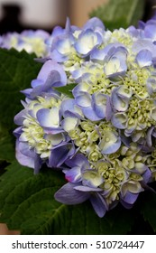 Hydrangea bluish purple with white center