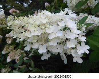 Hydrangea in the Botanika Bremen - Shutterstock ID 2002401530