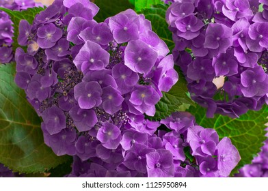 hydrangea branches with pink flowers