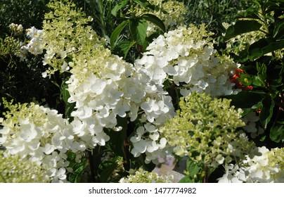 hydrangea bush with white flowers, hydrangea paniculata, in sunlight