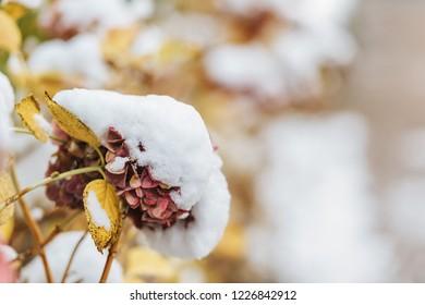 Hydrangea common names hydrangea or hortensia (Hydrangea macrophylla) under the snow