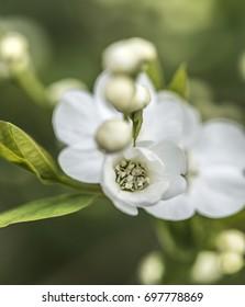 Hydrangea / Deutzia gracilis / Bruidsbloem