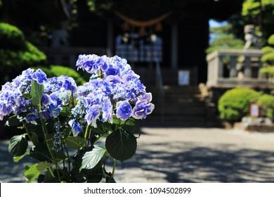 Hydrangea in early summer