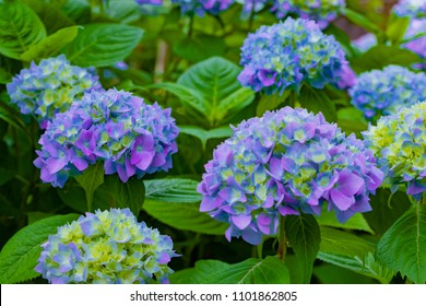 Hydrangea in early summer