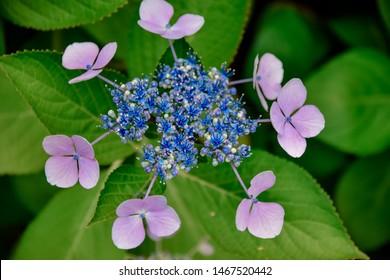 hydrangea, feeling rainy season by flower.