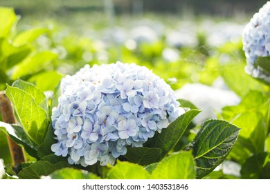 Hydrangea flawers  natures tree garden