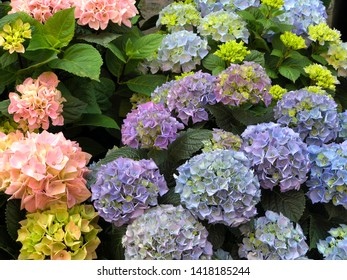 hydrangea floers of different colors