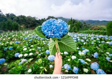 Hydrangea flower is a beautiful flower.