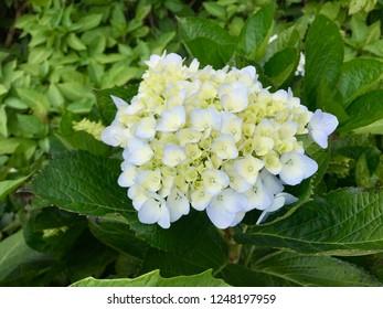 Hydrangea flower (Hydrangea macrophylla) blooming in garden. Hydrangea macrophylla - Beautiful bush of hortensia flowers. Hortensia flowers. Decorative plants concept in garden. Selective focus.