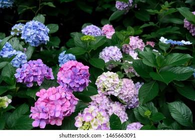 Hydrangea flower (Hydrangea macrophylla) blooming in spring and summer in a garden (Tokyo, Japan). Pink, Blue, Purple Hydrangea or Hortensia flower.