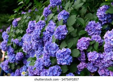 Hydrangea flower (Hydrangea macrophylla) blooming in spring and summer in a garden (Tokyo, Japan). Purple Hydrangea or Hortensia flower.