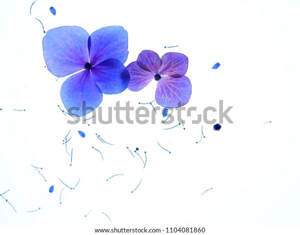 Hydrangea flower and Pollen on Translucent white background