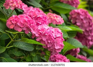 Hydrangea flower in summer
