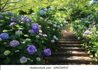 Hydrangea flowering over the stairs of the park