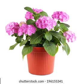 Hydrangea in flowerpot isolated on white