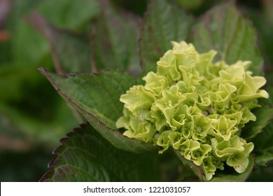 Hydrangea flowers close up