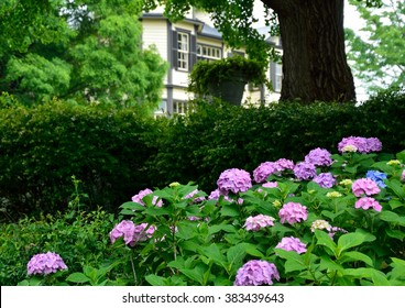 Hydrangea flowers in the garden of the western-style house in Yokohama Yamate, Japan