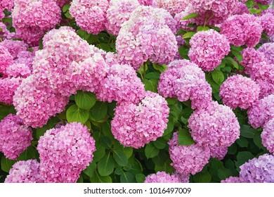 Hydrangea flowers (Hydrangea macrophylla)