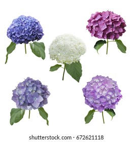 hydrangea flowers set isolated on white background